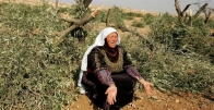 Israeli settlers steal olive pickings of Palestinian farmers in West Bank